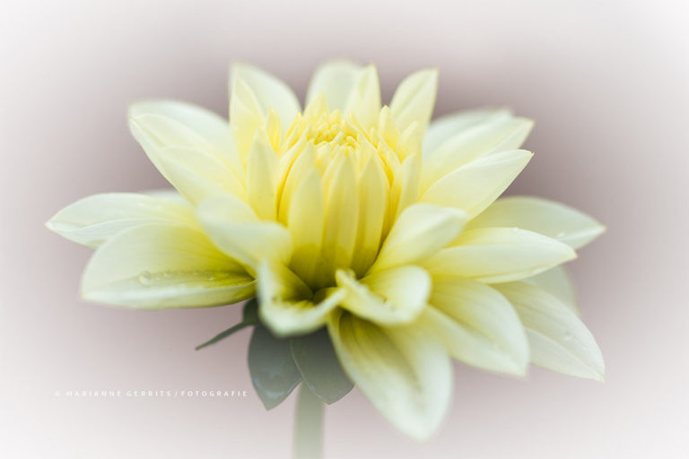 Bloemen Fotograferen - Tips van Marianne