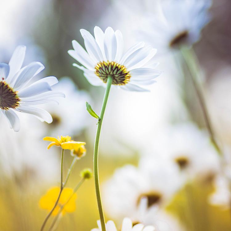 macrofoto bloem margriet uitgelicht