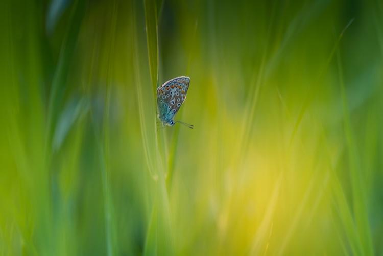 natuurfotografie vlinder blauwtje bewerkt thumbnail