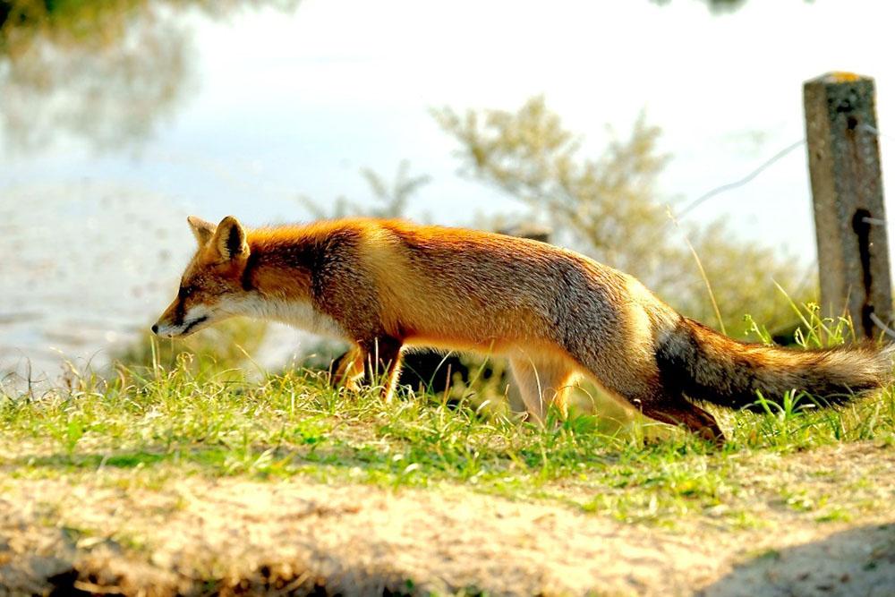 Waar vossen fotograferen in Nederland