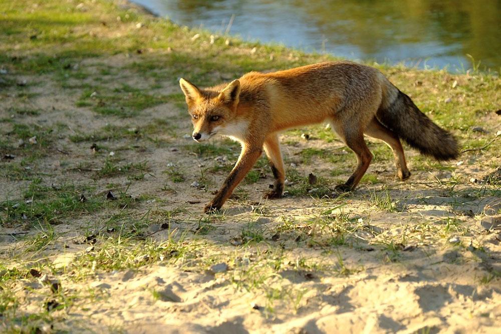 Cursus vossen fotograferen in Nederland