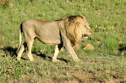 Fotoreis Zuid-Afrika - Leeuw