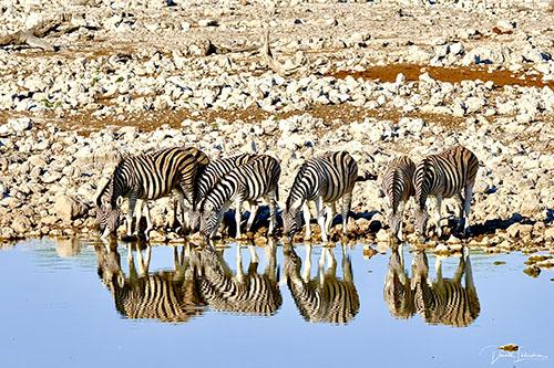 Fotoreis Zuid-Afrika - Zebra's