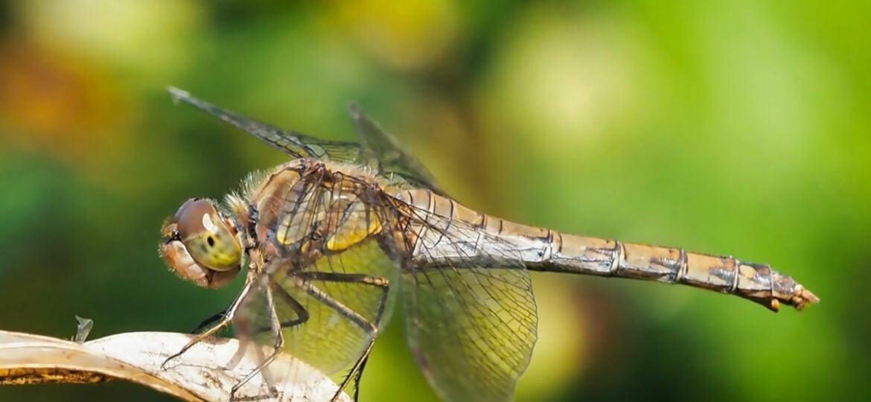 Tips voor het fotograferen van Libellen